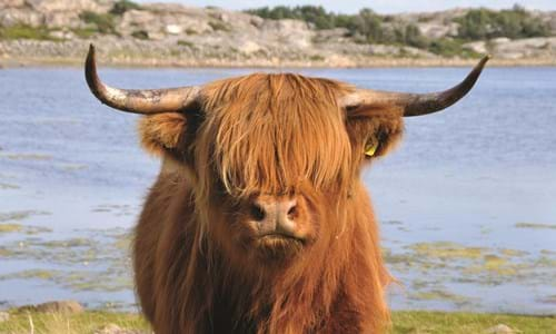 A highland cow standing in front of water